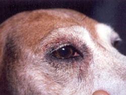 Weeping Ears In Dogs